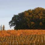 Les vignes du Domaine de La Borie Blanche