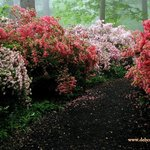 Azalea Walkway - an explosion of color!