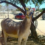 Famous Drinking Donkey