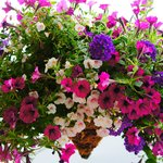 One of our many flower baskets.