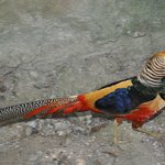 colourful wildfowl