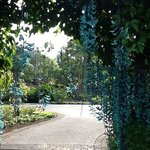 this is a blue lily vine..like a giant lei, 3 feet long, growing over an arbor