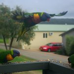 Rainbow lorikeets visit for breakfast