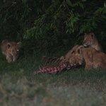 Arrivano I giovani leoncini x la colazione