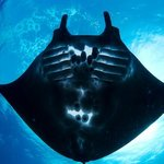 Black Manta, only with Freedom Divers on our Indonesia cruises