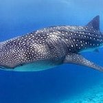 Whale Sharks, a possible sighting at many of our liveaboard destinations