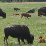 Baby Buffalo in Custer State Park