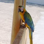 Mango the Macaw