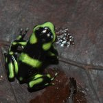 Juvenile Black and Green Dart Frog