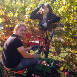 picking grapes for our award winning wines