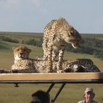 Cheetahs with a penchant for car roofs