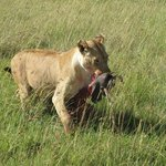 Lioness with wathog kill