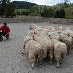 Die Herde wird von den Hunden selbständig in die richtige Richtung dirigiert