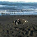 Waianapanapa Black Sand