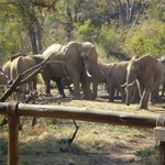 Elephants drinking next to the pool