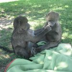 baby baboons- frikke & gracie