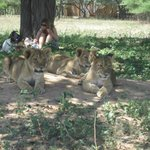 Harnas - took lion cubs out for leisure walk and some relaxing