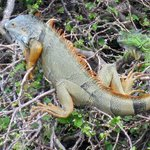 IGUANAS ON BRICKEL KEY,  FIVE FEET LONG!