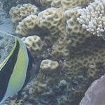 Moorish Idol, shoals of them! Amazing