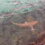 Reef Shark at Jetty feeding time