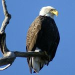 There are Eagles nesting just down the street from us!