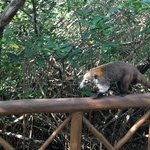 Lots of white-nosed coati's on the way to the beach...