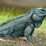 Free-roaming blue iguana in QEII Botanic Park