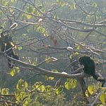 Howler Monkeys on the property