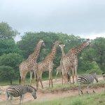 A herd of giraffe