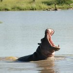 hippo in a watering hole