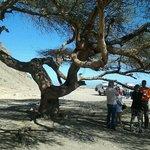 acacia vive nel deserto.a 150 anni