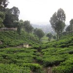 Nearby tea estate