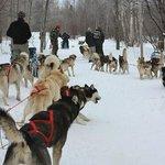 le départ des traîneaux à chiens