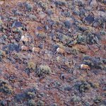 Bighorn sheep grazing on the shrubs along the wall fo the gorge