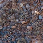 Sparse vegetation did not provide much fodder for these bighorn sheep to graze on.