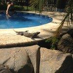 Iguana by the jacuzzi