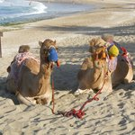 The resident camels