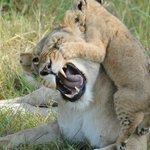 Bébé lion escaladant sa mère, qui perd patience !