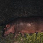 Hippo in the camp at night, take care going back to the tent after dark