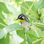 yellow throated warbler at breakfast