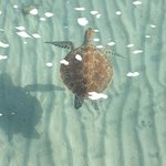 Turtle at Taba Heights