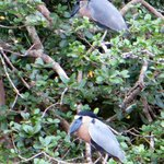 Kahnschnabel (Boat-billed Heron, Cochlearius cochlearius) am Rio Sapoa