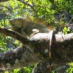 Ein grüner Leguan am Fluss