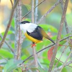 White collared manakin near the laundry