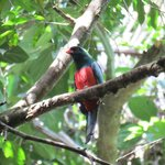 slaty tailed trogon on a forest trail