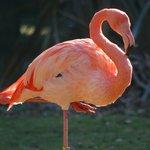 Lotherton Hall - Flamingo