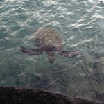 Honu (turtle) swam up to us while we stood on the pier