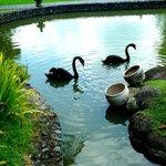 Black swans!