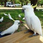 Feeding the cockatoos Lakeside Tourist Park