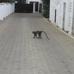 monkey at hotel area